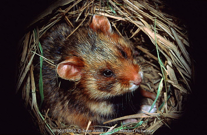 Common hamster in nest (Cricetus cricetus) Germany  -  Ingo Arndt/ npl