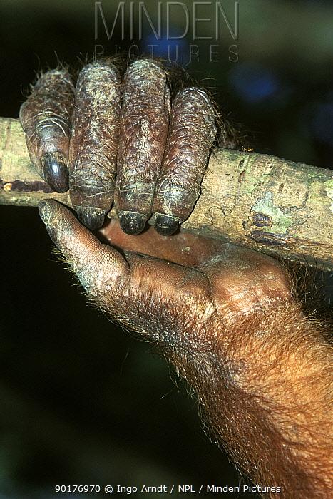 Orang utan hand holding branch close-up (Pongo pygmaeus abelii) Sumatra, Indonesia  -  Ingo Arndt/ npl