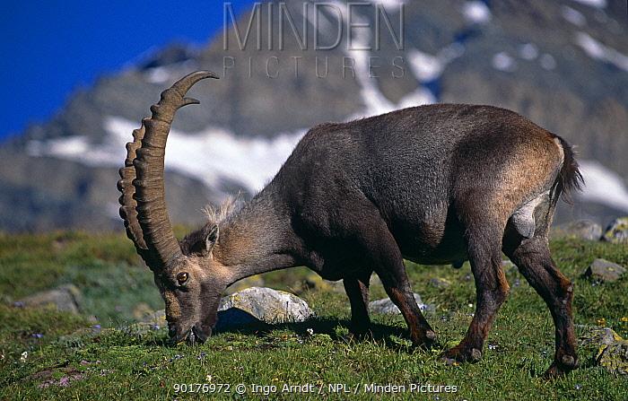 Alpine ibex male grazing (Capra ibex ibex) Gran Paradiso NP, Italy  -  Ingo Arndt/ npl