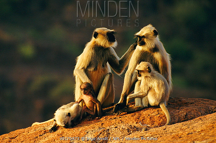 Hanuman langur females and young (Presbytis entellus) Jodhpur, India  -  Ingo Arndt/ npl