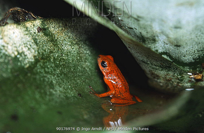 Strawberry poison arrow frog in water inside Bromeliad plant (Dendrobates pumilio) South America  -  Ingo Arndt/ npl