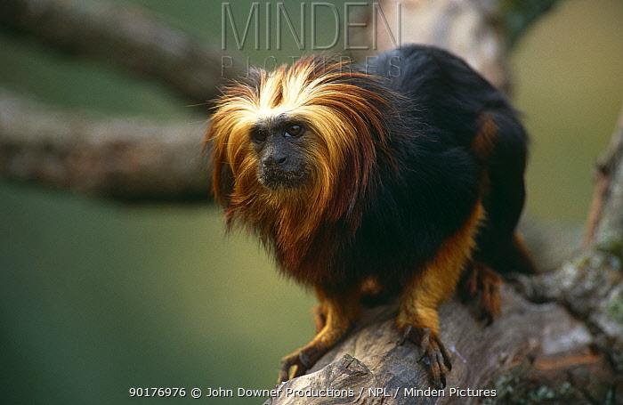 Golden headed lion tamarin (Leontopithecus chrysomelas) captive, Brazil, endangered  -  John Downer/ npl
