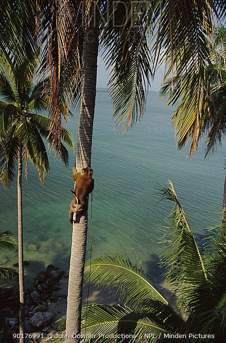 Trained Macaque climbs coconut tree to throw down nuts, Bali Ko Samui, Bali, Indonesia  -  John Downer/ npl