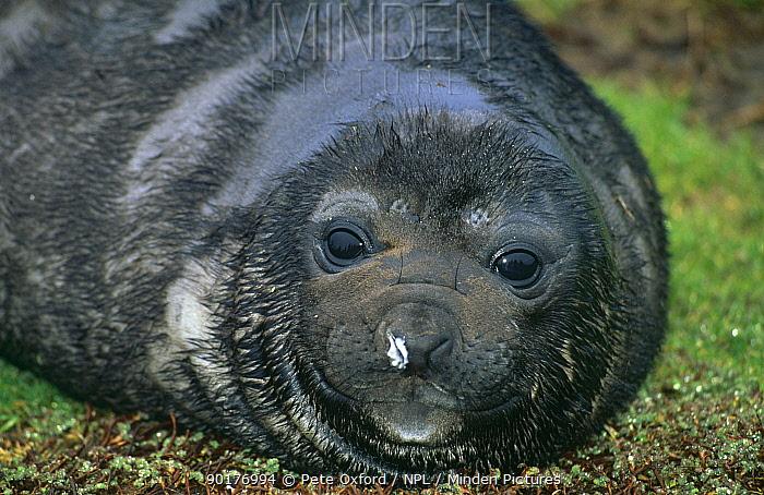 Southern elephant seal weaner (Mirounga leonina) South Georgia, Antarctica  -  Pete Oxford/ npl