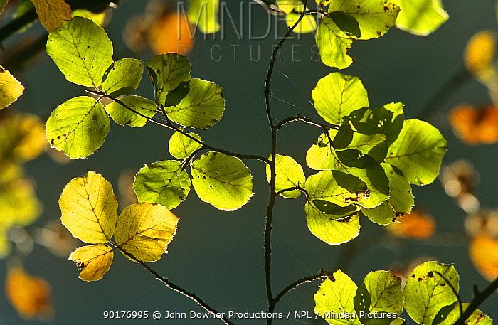 European Beech leaves backlit early autumn Avon (Fagus sylvatica) England  -  John Downer/ npl