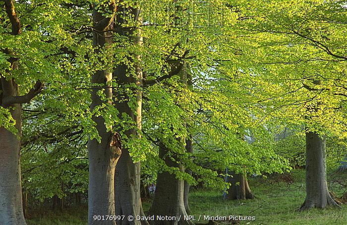 Beech trees in spring foliage, Brecon Beacons NP, Wales, UK  -  David Noton/ npl