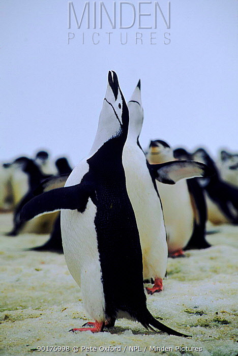 Chinstrap penguins displaying, South Sandwich Islands, Antarctica  -  Pete Oxford/ npl
