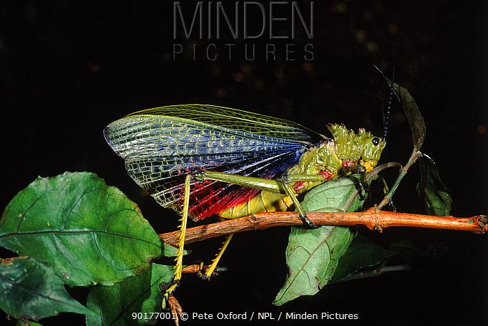 Locust (Phymateus sp) portrait Pretoria, South Africa  -  Pete Oxford/ npl