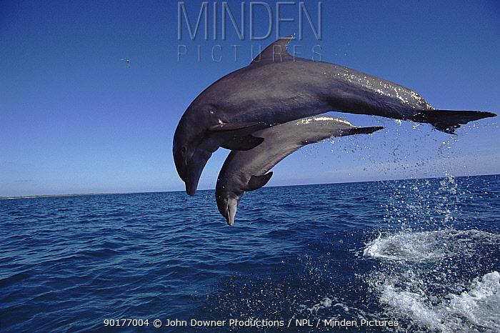 Two Bottlenose dolphins leaping together, Bahamas  -  John Downer/ npl