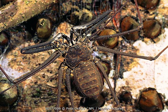 Tailless whip scorpion, vinegaroons Ecuadorian Amazon  -  Pete Oxford/ npl