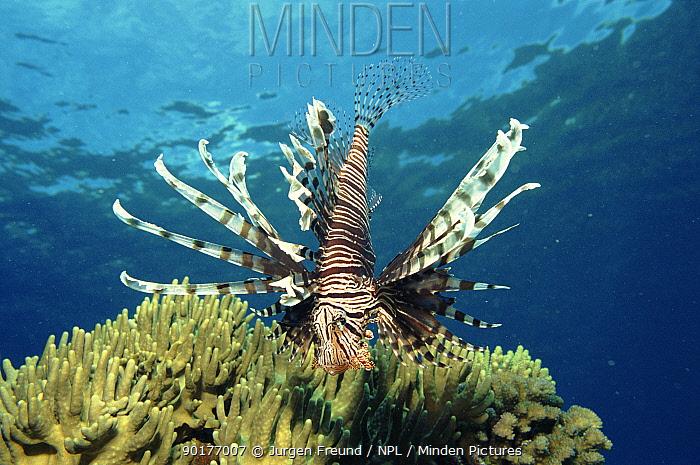 Lionfish on coral reef, Indo-Pacific  -  Jurgen Freund/ npl