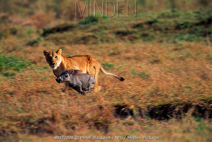 Lioness (Panthera leo) hunting warthog, Masai Mara, Kenya  -  Peter Blackwell/ npl