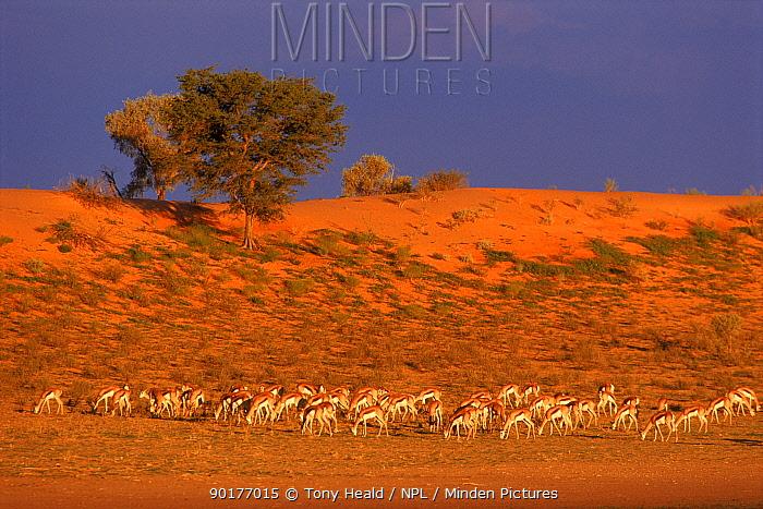 Springbok herd grazing, Kalahari Gemsbok NP, South Africa  -  Tony Heald/ npl