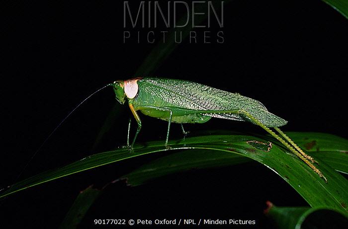 Long-winged katydid, Amazon Rainforest, Ecuador  -  Pete Oxford/ npl