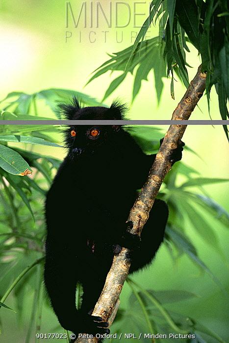 Male Black lemur (Lemur macaco macaco) Nosy Komba, Madagascar  -  Pete Oxford/ npl