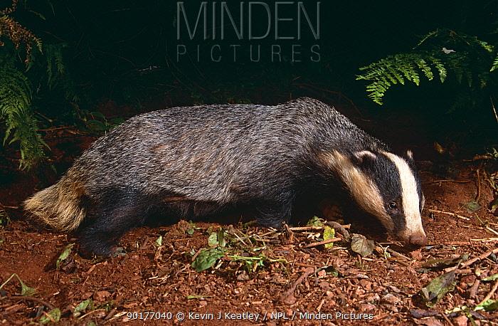 Badger foraging at night (Meles meles) Devon, UK  -  Kevin J Keatley/ npl
