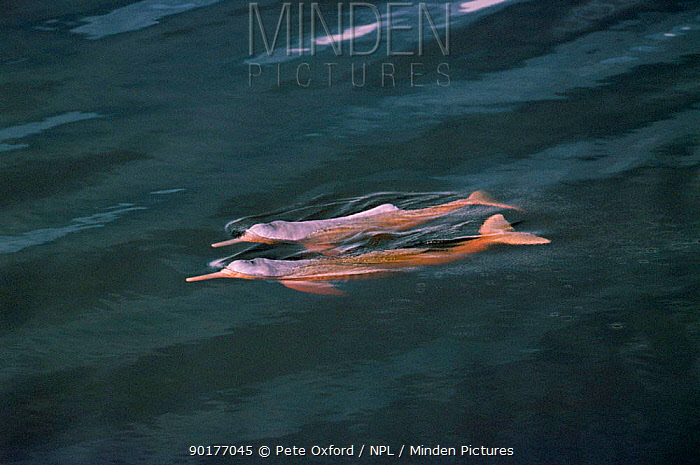 Bouto or Amazon pink river dolphin (Inia geoffrensis) swimming at surface, Mamiraua, Brazil  -  Pete Oxford/ npl