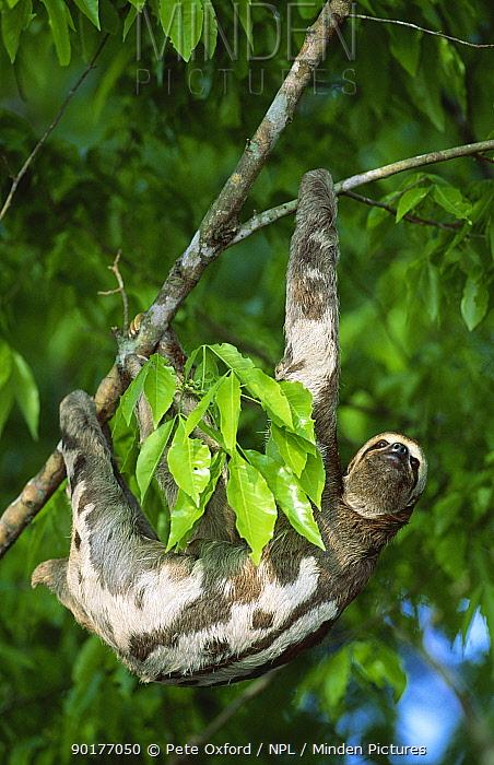 Brown throated three toed sloth (Bradypus variegatus) in tree, Amazon, Brazil, South America  -  Pete Oxford/ npl
