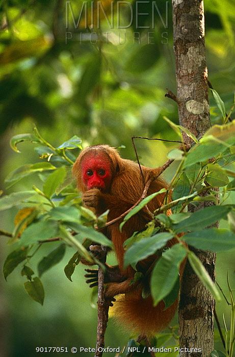 Red uakari monkey in tree (Cacjao rubicundus) Amazonia, Brazil, captive  -  Pete Oxford/ npl