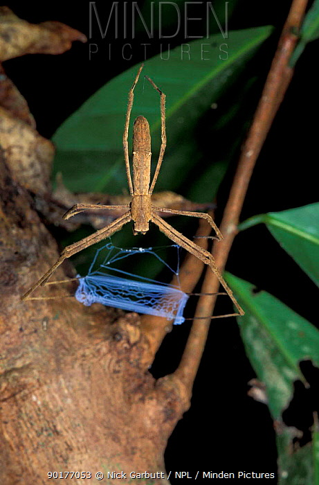 Net casting spider (Dinopsis sp) female with net, Nosy Mangabe, Madagascar This species weaves silk nets, which it drops on top of its prey to ensnare it  -  Nick Garbutt/ npl