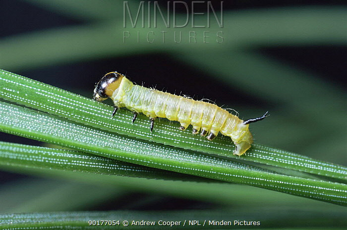 Caterpillar larva of Pine hawkmoth (Hyloicus pinastri) UK  -  Andrew Cooper/ npl