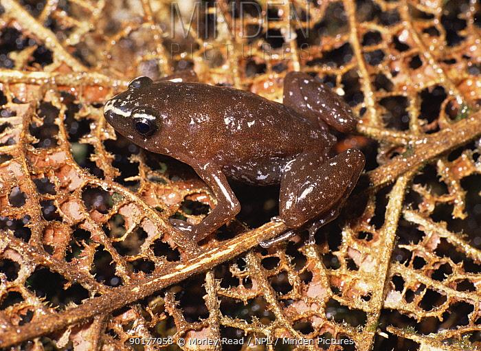 Narrow mouthed frog (Syncope antenori) Ecuador, South America, Amazon  -  Morley Read/ npl