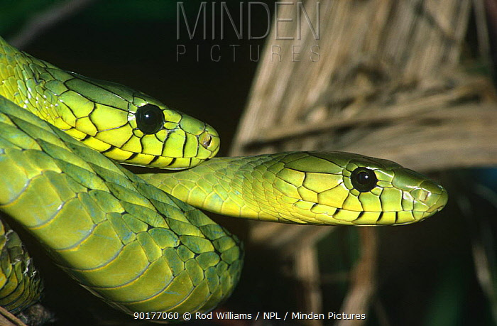 Two Western green mambas (Dendroaspis viridis) captive, found in West Africa  -  Rod Williams/ npl