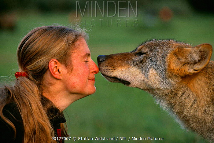 European grey wolf sniffing researcher Barbara Furpass-Prombergen Romania  -  Staffan Widstrand/ npl