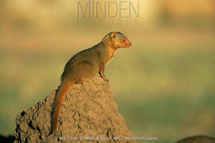Profile of Dwarf mongoose (Helogale parvula) sitting on termite mound, Tanzania, East Africa  -  Mike Wilkes/ npl