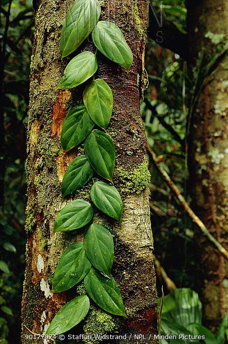 Leaves of climbing plant growing up tree, tropical rainforest, Brazil  -  Staffan Widstrand/ npl