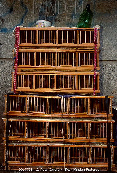 Wild caught songbirds in cages at bird market Kunming, Yunnan, China  -  Pete Oxford/ npl
