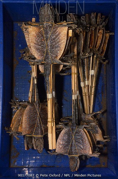 Tokay geckos (Tokay tokay) dried for medicinal use Yunnan China  -  Pete Oxford/ npl