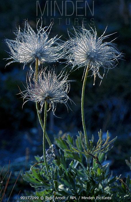 Pasque flower seed heads (Pulsatilla vulgaris) Gran Paradiso NP Italy  -  Ingo Arndt/ npl