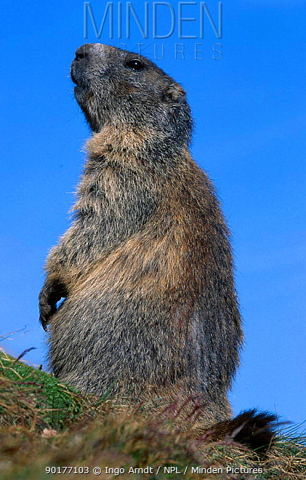 Alpine marmot (Marmota marmota) Hohe Tauern NP Austria  -  Ingo Arndt/ npl