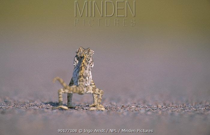 Desert chameleon walking away from camera (Chamaeleo namaquensis) Namibia  -  Ingo Arndt/ npl
