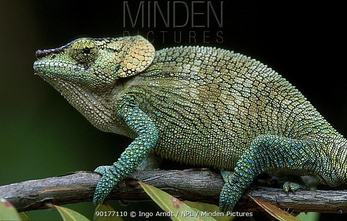Shorthorn chameleon male sleeping (Calumna brevicornis) Madagascar  -  Ingo Arndt/ npl