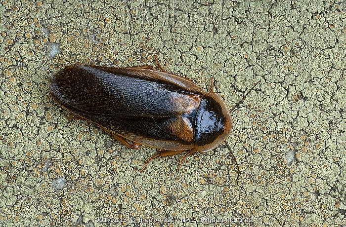 Cockroach (Blaptica dubia)  -  Ingo Arndt/ npl
