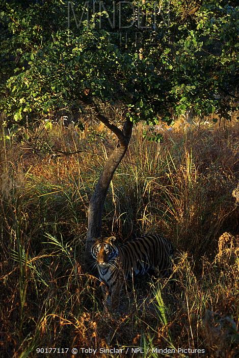 Bengal tiger male in grass (Panthera t tigris) Kanha NP Madhya Pradesh India  -  Toby Sinclair/ npl