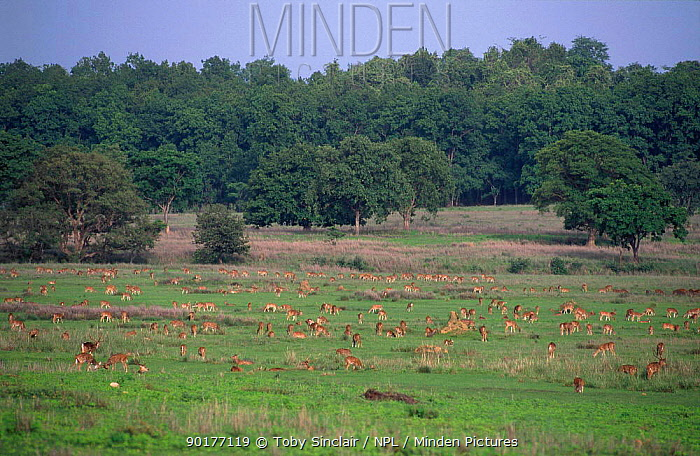 Chital, Spotted deer herd grazing (Axis axis) Kanha NP Madhya Pradesh India  -  Toby Sinclair/ npl