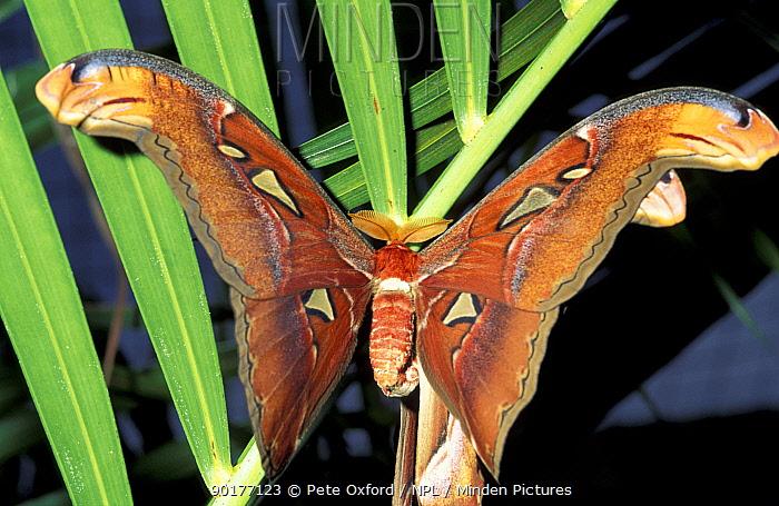Atlas moth (Attacus atlas) Malaysia  -  Pete Oxford/ npl