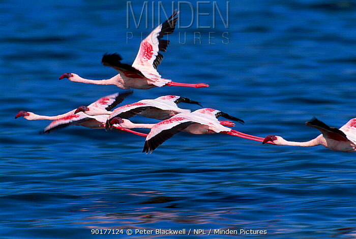 Group of Lesser flamingos in flight (Phoeniconaias minor) Lake Bogoria Kenya East Africa  -  Peter Blackwell/ npl