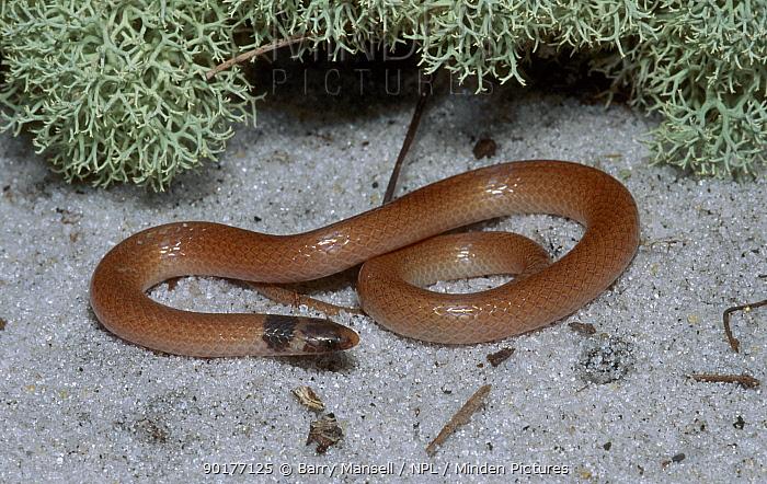 Coastal dunes crowned snake (Tantilla relicta pamlica) C Florida USA  -  Barry Mansell/ npl