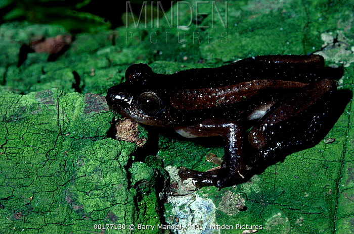 Ghost frog (Heleophryne natalensis) C Transvaal South Africa  -  Barry Mansell/ npl