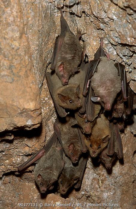 Long tongued bats (Choeronycteris mexicana) Sonora Mexico  -  Barry Mansell/ npl