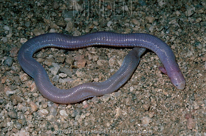 Common two legged worm lizard (Bipes biporus) C angered USA  -  Barry Mansell/ npl