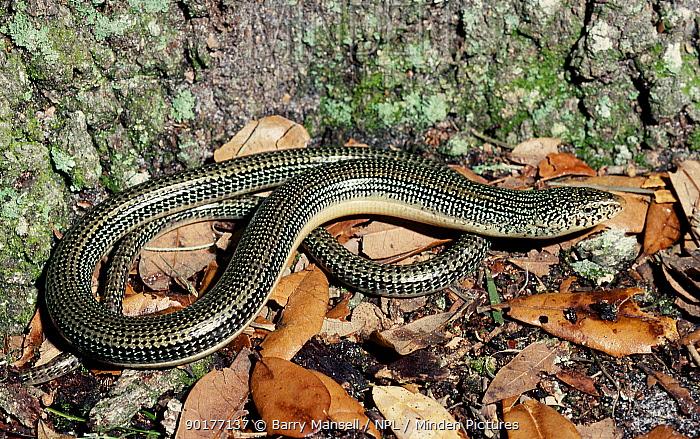Eastern glass lizard (Ophisaurus ventralis) C USA fake snake  -  Barry Mansell/ npl