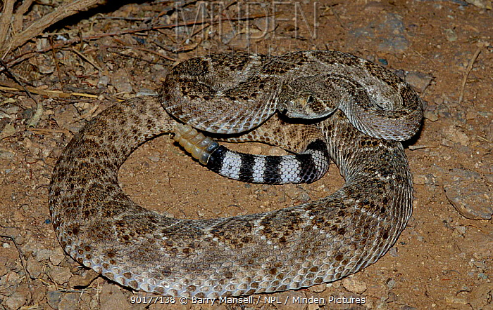 Western diamondback rattlesnake (Crotalus atrox) Arizona USA  -  Barry Mansell/ npl