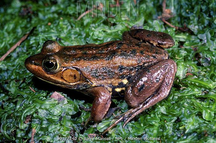 Carpenter frog (Rana virgatipes) C South Georgia USA  -  Barry Mansell/ npl