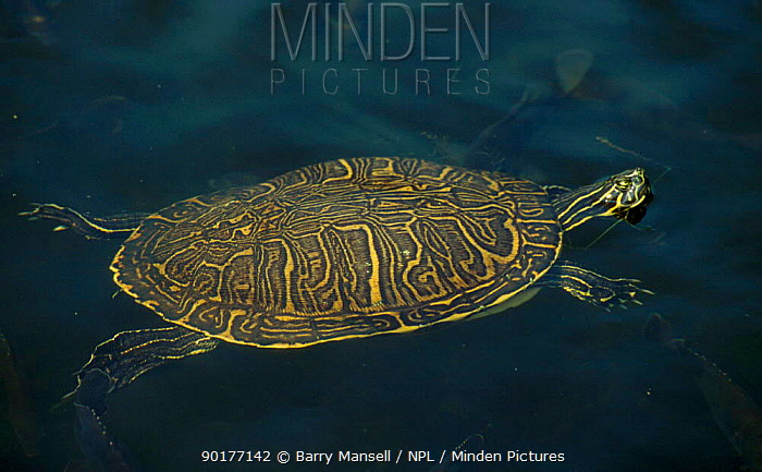 Peninsular cooter swimming (Pseudemys floridana peninsularis) USA  -  Barry Mansell/ npl