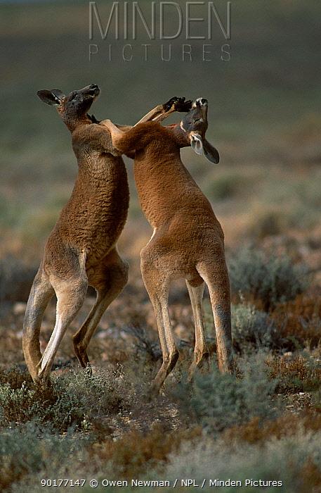 Male Red kangaroos fighting (Macropus rufus) Sturt NP, New South Wales Australia  -  Owen Newman/ npl